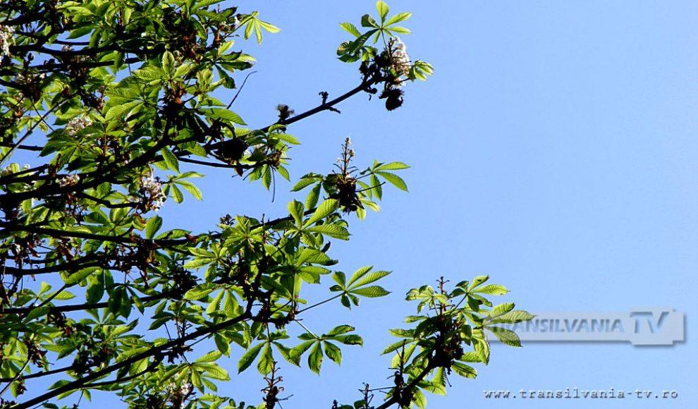 Baia Mare-Flori de castan-1
