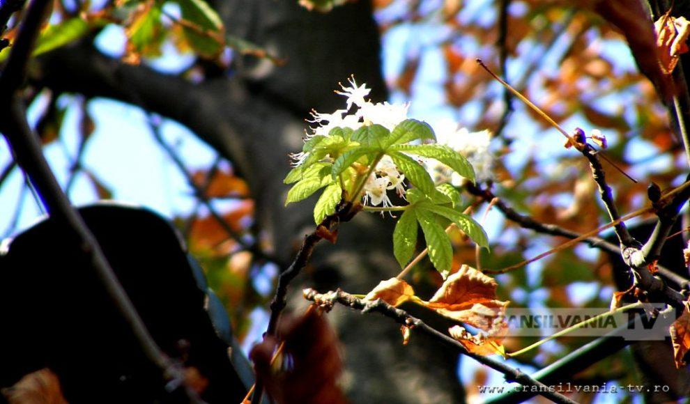 Baia Mare-Flori de castan-11