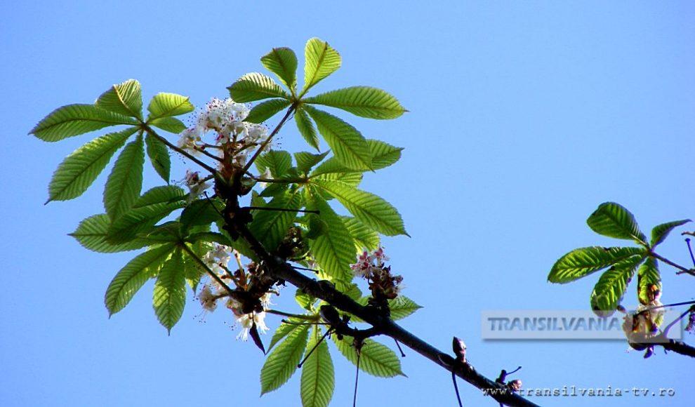 Baia Mare-Flori de castan-12