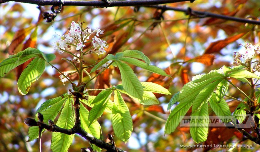 Baia Mare-Flori de castan-13