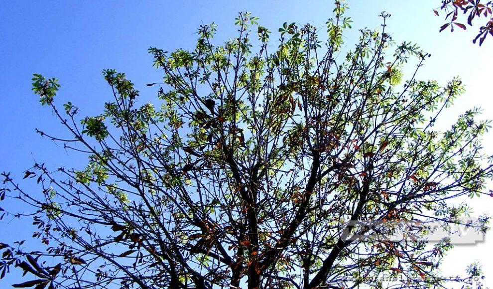 Baia Mare-Flori de castan-14