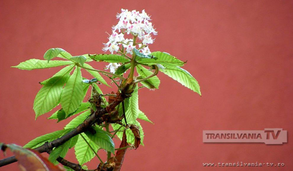 Baia Mare-Flori de castan-15