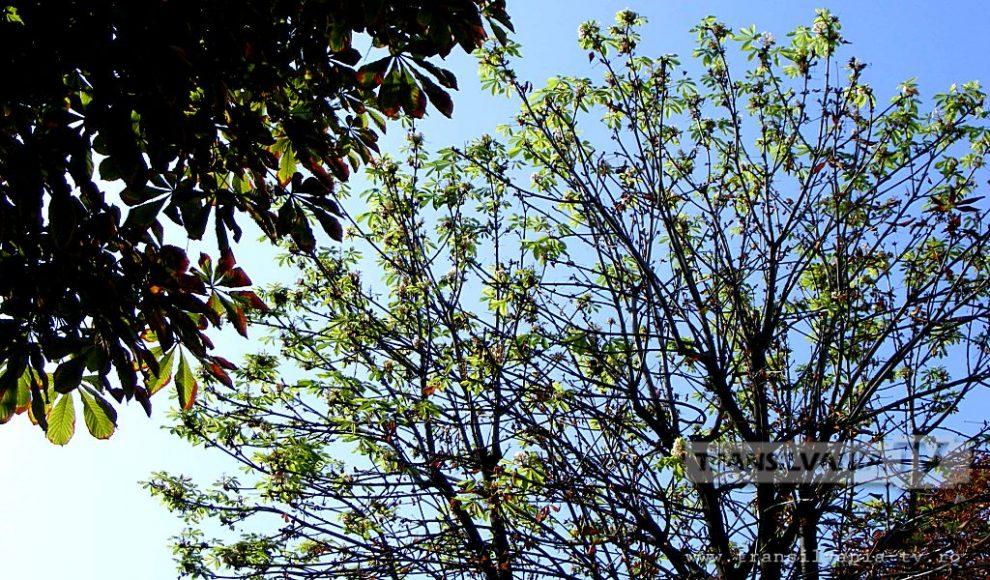 Baia Mare-Flori de castan-16