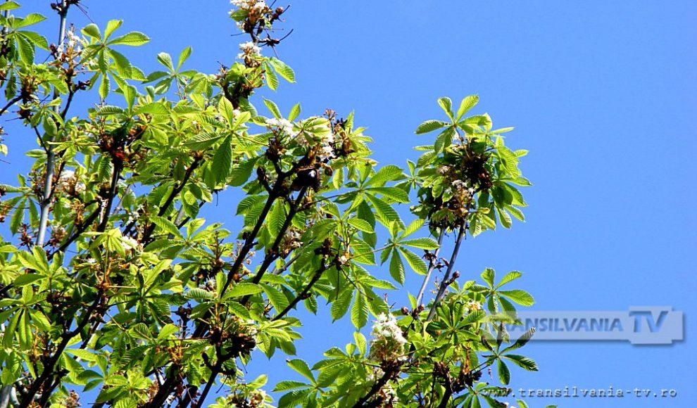 Baia Mare-Flori de castan-3