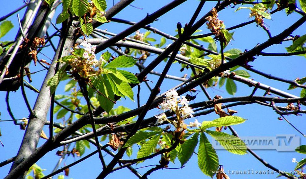 Baia Mare-Flori de castan-5