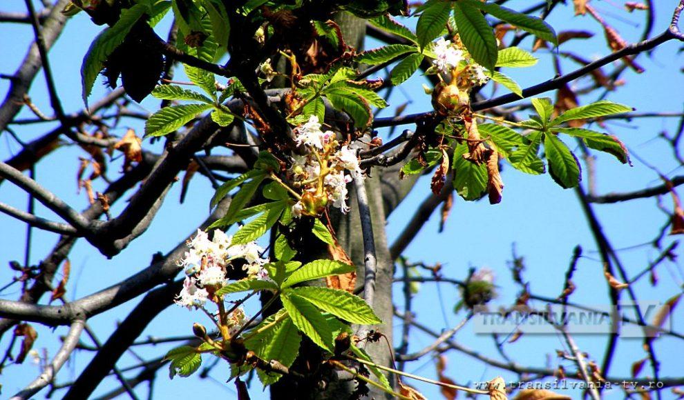 Baia Mare-Flori de castan-6