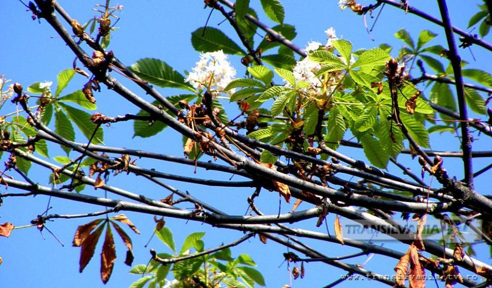 Baia Mare-Flori de castan-7