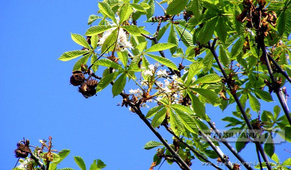 Baia Mare-Flori de castan-8