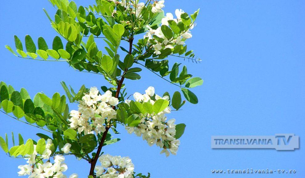 Baia Mare-Flori de salcam-2