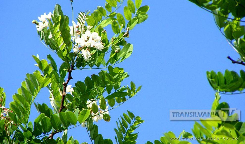 Baia Mare-Flori de salcam-3