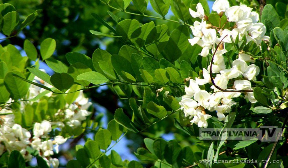Baia Mare-Flori de salcam-4