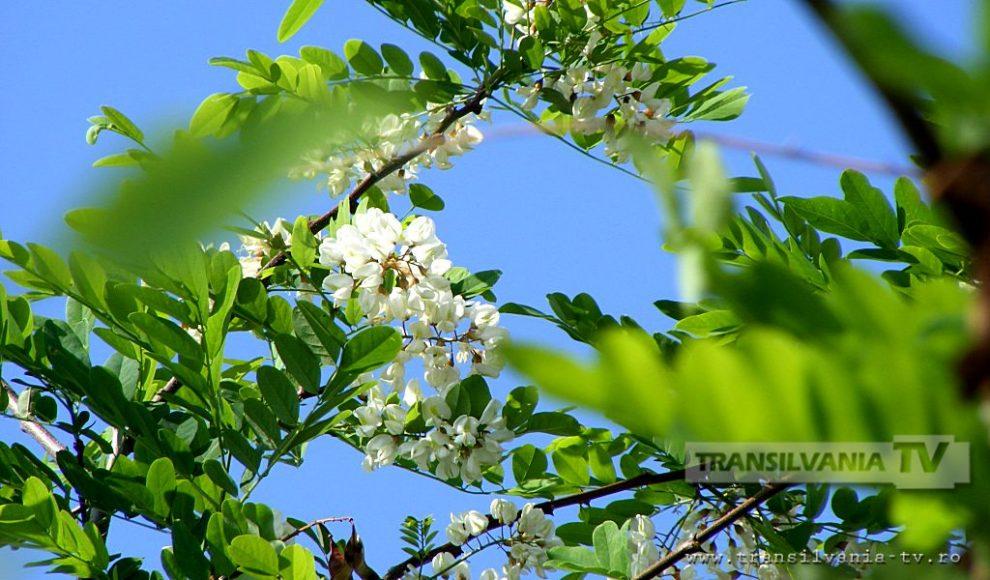 Baia Mare-Flori de salcam-5