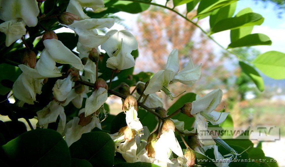 Baia Mare-Flori de salcam-6